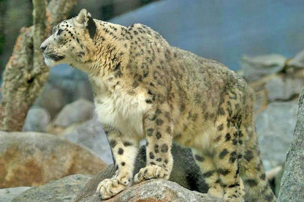 an.  Pakistan. endangered species.  Sn…