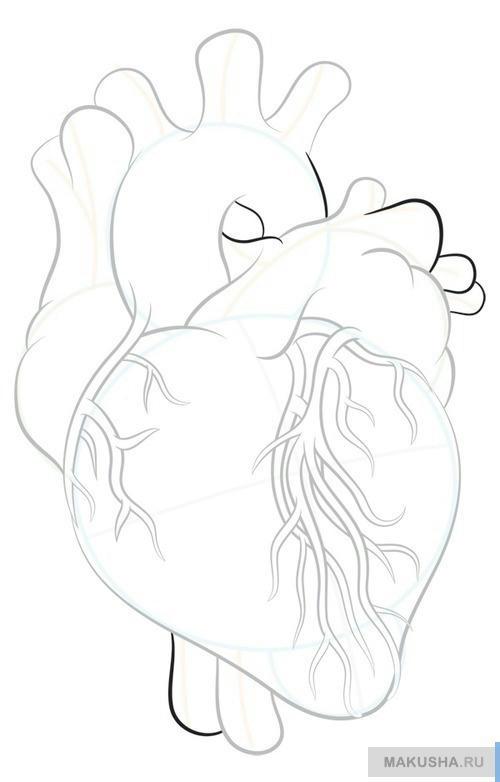 Учимся рисовать реалистичное сердце человека
