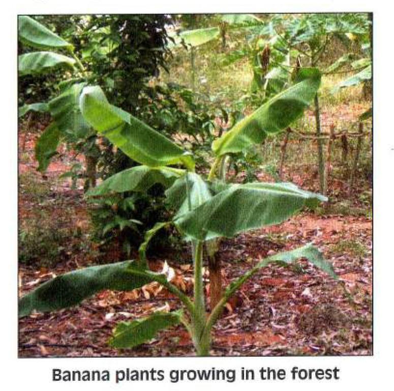 Banano (Musa paradisiaca)