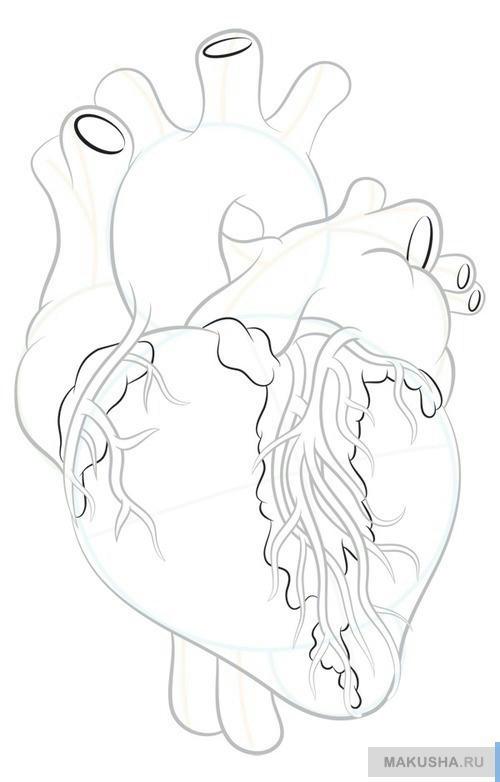 Рисуй настоящего сердца человека по шагам