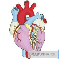 Рисунки настоящего сердца человека