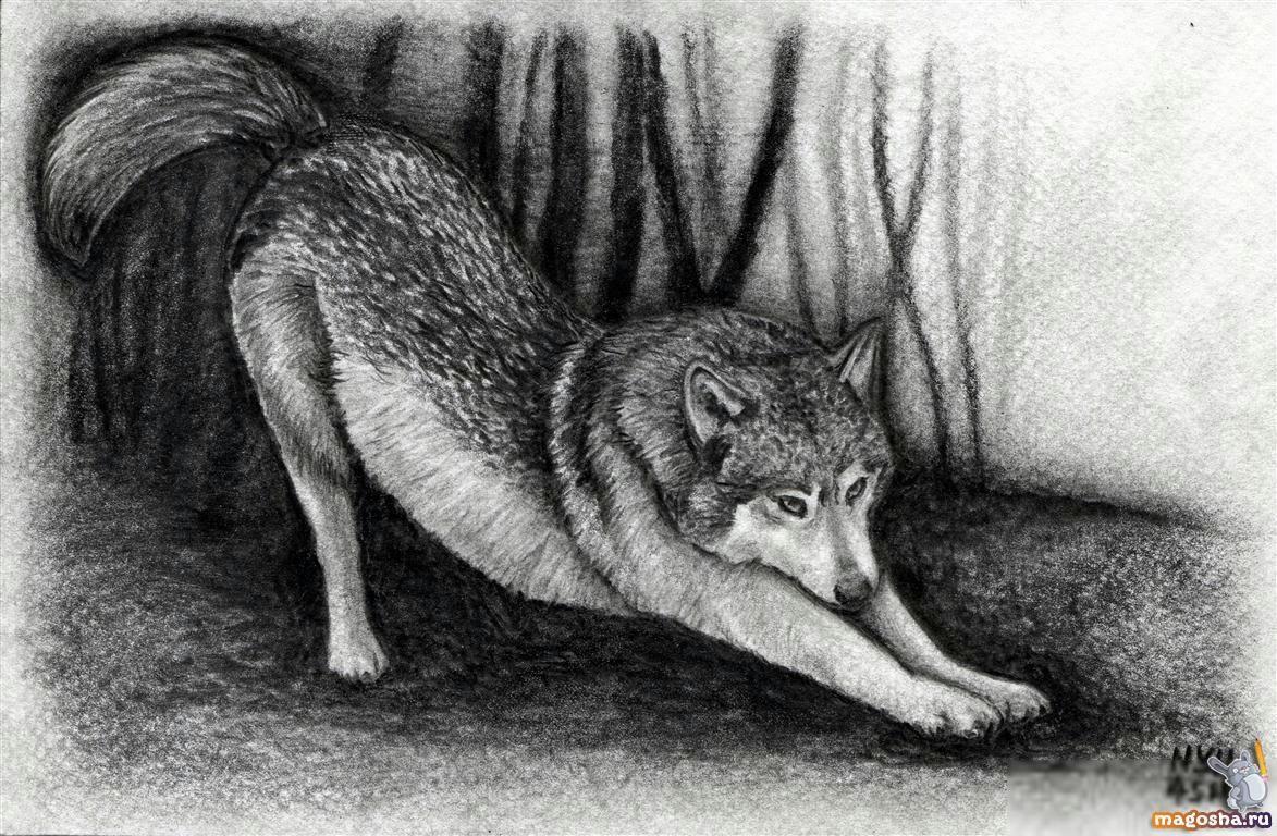 фото волков как нарисовать