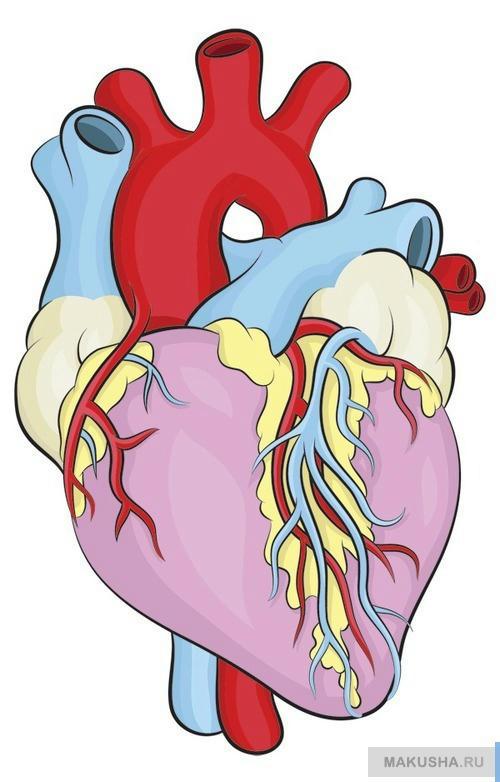 Я рисую реалистичное сердце человека по шагам