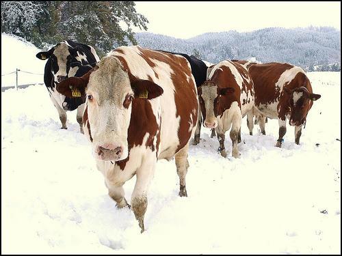krávy v ohradě sníh zima