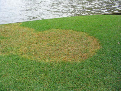 Brown Patch In St. Augustine Lawn