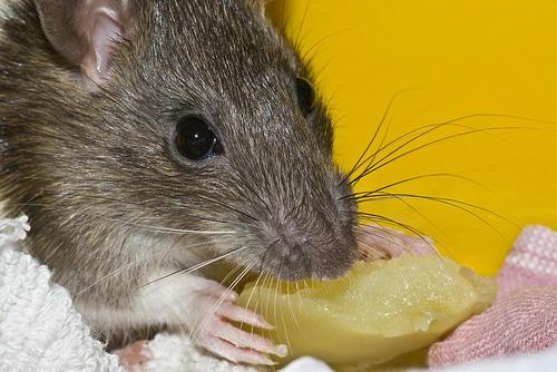 myš myšák