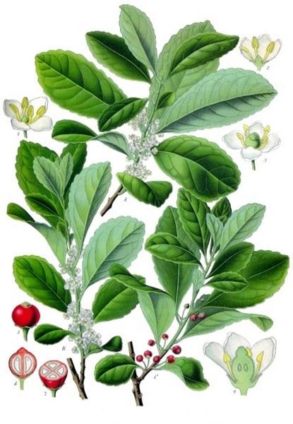 Ilex-paraguariensis,-o-yerba-mate