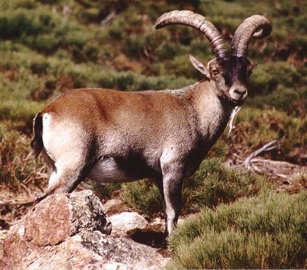 2015-es-el-año-de-la-Cabra-de-Madera-según-el-Horóscopo-Chino