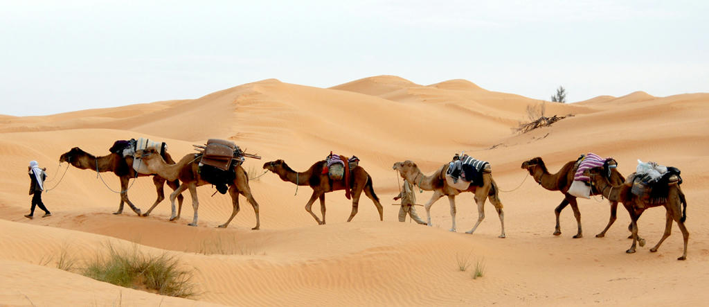 Man leading camels in the Sahara