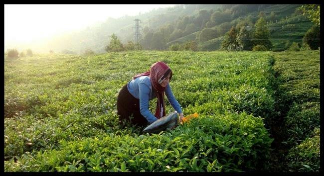 karadeniz çay bahçeleri