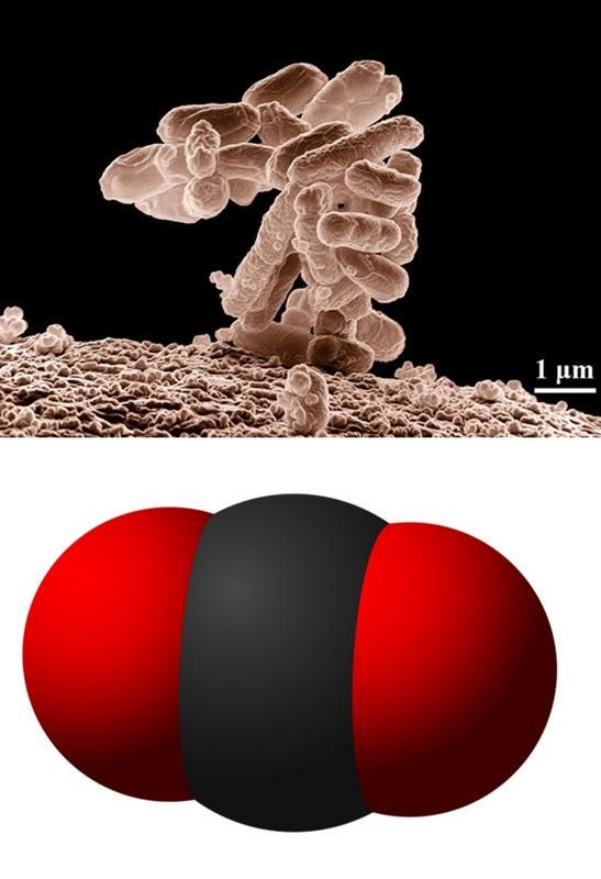 Alteran genéticamente una bacteria E Coli para que coma CO2