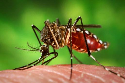 Hembra del mosquito Aedes aegypti