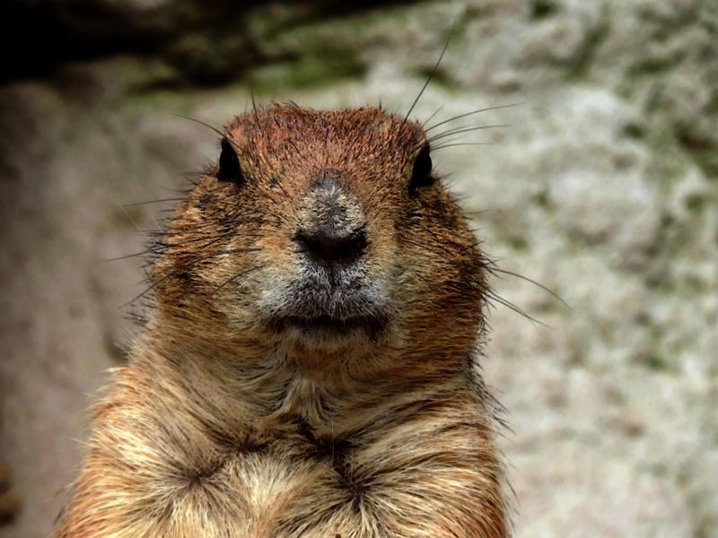 La curiosa celebración del Groundhog Day, el Día de la Marmota, no se trata solo de una película con Bill Murray, sino una tradición con profundo arraigo
