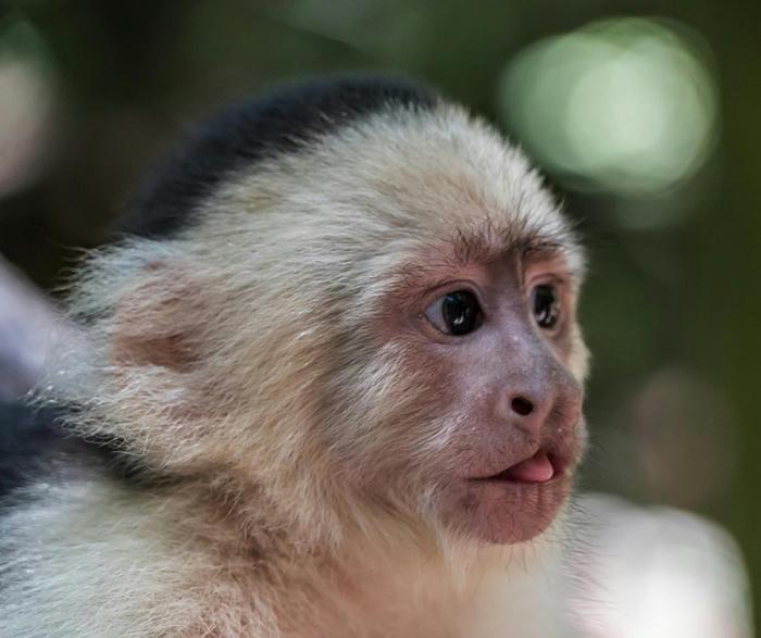 Investigadores afirman que monos capuchinos de cara blanca alcanzaron la Edad de Piedra