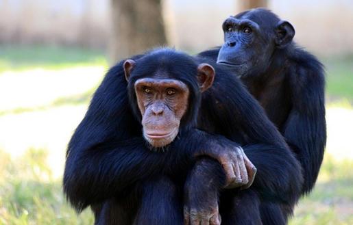 El-chimpancé-común-o-Pan-troglodytes,-es-una-especie-de-primate-homínido-propia-de-África-tropical-considerado-como-el-pariente-vivo-más-cercano-al-ser-humano