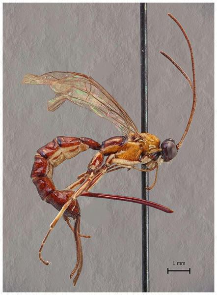 El extraño insecto usa su aguijón tanto para la puesta de huevos como para inyectar veneno